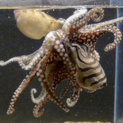 The long forgotten Larger Pacific Striped Octopus finally gets scientifically described by Richard Ross and Roy Caldwell.