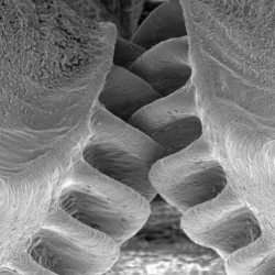 Scientist discover an insect that has evolved mechanical gears in its legs. Meet Issus coleoptratus.