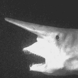 The bizarre strike of the goblin shark.