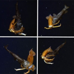 Great images of a five-inch squid attacking an owlfish from the Monterey Bay Aquarium Research Institute expedition.