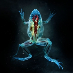 Stunning photos of abnormal frogs in the series Reliquaries from Brandon Ballengee.
