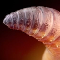 Incredible macrophotography of insects and other invertebrates, like this earthworm, from John Hallmén.