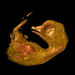 Stunning winner of the 2013 Nikon Small World in Motion contest, a 3D reconstruction of a 10 day old quail embryo.