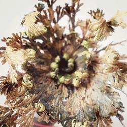 Beautiful time lapse of a desert moss, the  Rose of Jericho (Selaginella lepidophylla) as it is rejuvenated after being exposed to water.