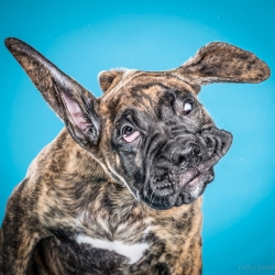 As if Carli Davidson's photo series Shake of dogs shaking themselves off wasn't adorable enough, the photographer's new series Shake Puppies features pups  mid-shake.