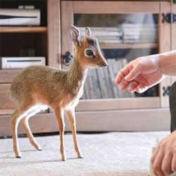 Chester Zoo's adorable tiny baby Dik Dik antelope.