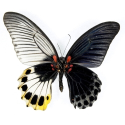 Beautiful examples of bilateral gyandromorphy in butterflies. The hermaphroditic butterflies half a male and female side to their bodies.