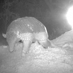 With the help of camera traps, Brazilian researchers have taken the first baby portrait of the rare and reclusive giant armadillo (Priodontes maximus).
