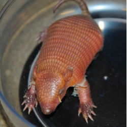 A baby Screaming Hairy Armadillo is born at Virginia Zoo.