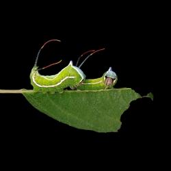 Stunning photos of the caterpillars of New England by Samuel Jaffe.