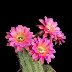 A mesmerizing timelapse of the flowering of Echinopsis cacti.