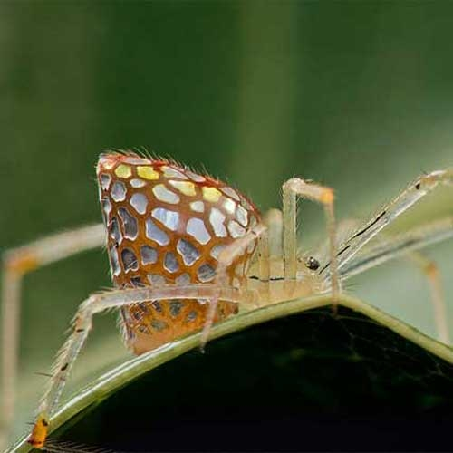 Incredible macro photos of Mirror spiders (Thwaitesia sp.) which can contract and expand their silver plates.