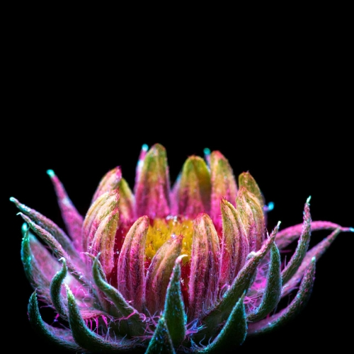 Plants come to life in the photography of Craig P. Burrows, with UVIVF (ultraviolet-induced visible fluorescence) to capture colors and details we can't typically see with the human eye.