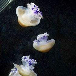 Zoo Basel successfully breeds jellyfish! Tiny polyps and free floating medusas!