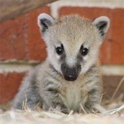 A staggering 22 baby coatis at Melbourne Zoo!
