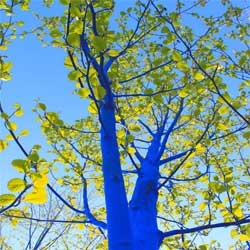 """""""The Blue Trees"""", beautiful project by Konstantin Dimopoulos for Vancouver Biennale 2011 that involved dyeing the trunks and branches of trees blue."""