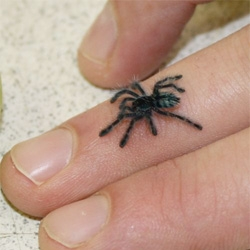 Teen tiny tarantulas! Over 140 Antilles Pink-toed Bird-eating Tarantulas have hatched at Bristol Zoo.