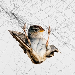 Beautiful birds in awkward positions, photographer Todd Forsgren captures birds traps in mist nets (think spiderweb fences) for research.