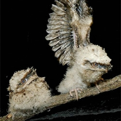Adorable Tawny Frogmouth Chicks at Brookfield Zoo.