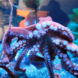 International Cephalopod Awareness Days, a five-day celebration of more than 700 sea creatures that make up this class of animals. Wired Science share some of the weird traits that make octopodes and squid loveable.