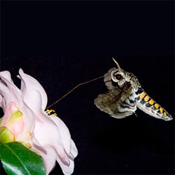 Beautiful footage of a hawkmoth (Manduca sexta) in flight.