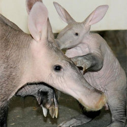 Chicago's Brookfield Zoo celebrate the new arrival of an Aardvark calf.