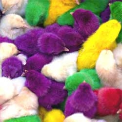 The NYtimes on the controversial practice of dyeing chicks for Easter.