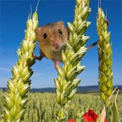 Fantastic photos of tiny harvest mice by Jean-Louis Klein and Marie-Luce Hubert.