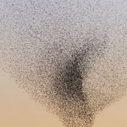 Neels Castillon captures a swirling murumuration of starlings as he was waiting to film an helicopter flying into the sunset. Beautiful!