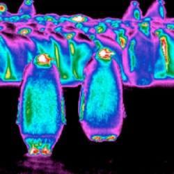 Researchers discover that an Emperor penguin's feather coat actually gets colder than the surrounding frigid air.