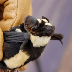 Scientists have discovered an entire new genus of bats including this specimen from southern Sudan. The new genus is called Niumbaha. They have incredible black and white markings.