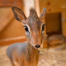 Meet Chester Zoo's two young Dik Dik.