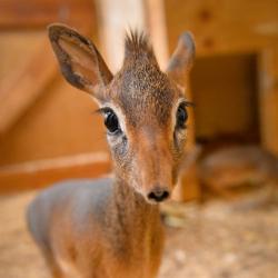 Meet Chester Zoo's two young Dik Dik.