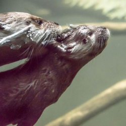 The Oregon Zoo's new otter pup learns to swim. Fun underwater photo series!
