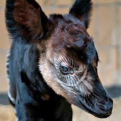 Pretty, intricate patterns on the young Okapi calf at Antwerp Zoo.