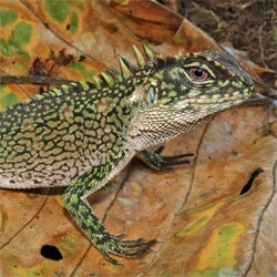 Scientists describe new these incredible new lizard species from Peru.