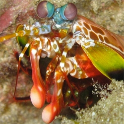 New research into the powerful smash of the Peacock Mantis Shrimp.