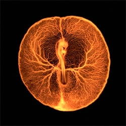Beautiful photography and micrography from the Wellcome Image Awards. The 2012 gallery is stunning! This is the Chicken embryo vascular system captured by Vincent Pasque of the University of Cambridge.