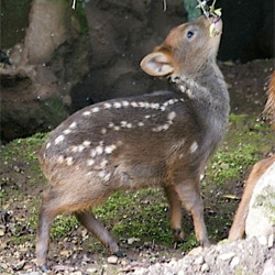 Bristol Zoo's adorable baby pudu weighed only 2 pounds at birth.