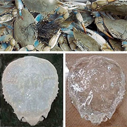 Biologists from Kyoto University in Japan have turned a crab's shell transparent.