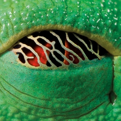 A closeup look at the eye of a sleeping red-eyed tree frog (Agalychnis callidryas). The golden nictating membrane lets in just enough light to detect would-be attackers.