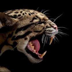 Big Cats captured by photographer Vincent J. Musi.