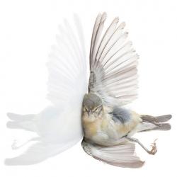 Miranda Brandon's Impact capturing birds the artist found intact following collisions as a volunteer for the Audobon's BirdSafe program.