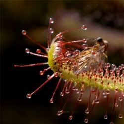 Our sundew has just about finished its insect prey, but you can see the whole process in time lapse through this clip from the Life of Plants.