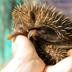 Perth Zoo's adorable echidna puggle is growing up!