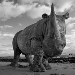 Davis Murphy places casts of rhinos in unexpected places.