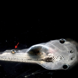 Researchers have successfully transplanted an eyeball onto a blind tadpole's spine that confers some degree of vision.