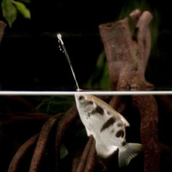 Researchers at the University of Bayreuth discover that archerfish can use their mouths to adjust the focus of their water jets and maximize harm on prey at different distances.