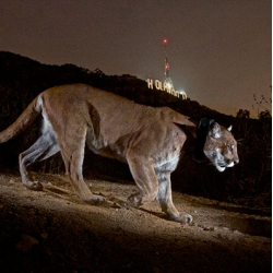 Photographer Steve Winter on capturing these incredible photos of Wildlife in Los Angeles.