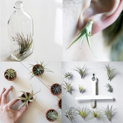 Decurate's interview with To Hold ~ fun to see their cute air plant living minis, wearables (earrings!), even suction cup shower plants...